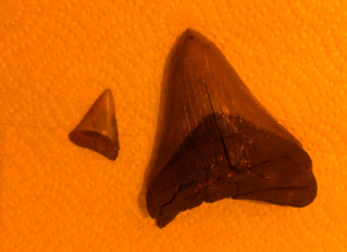 Megalodon vrs. Great White. The Meg tooth I have is on the right there. Notice the amazing size diff