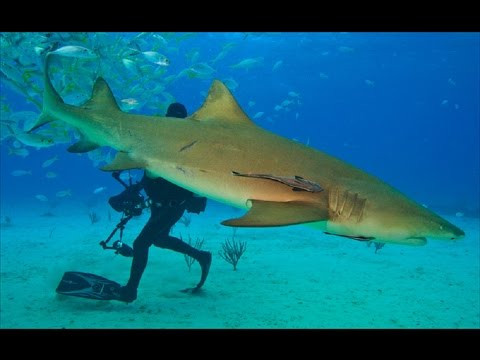 Lemon shark.