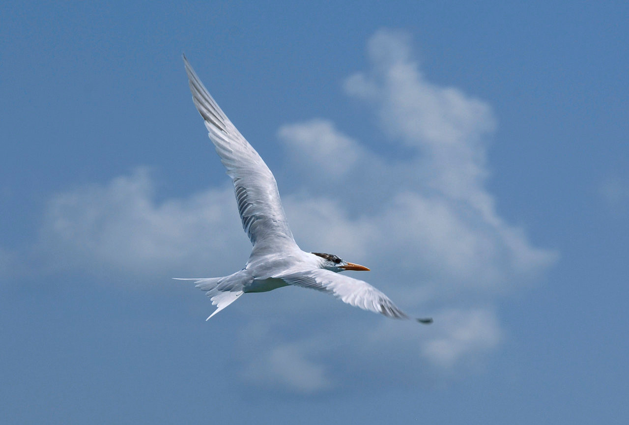 Florida skys with Tern