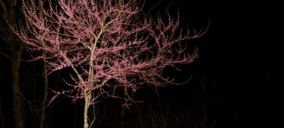 Red bud tree under light at night_4 _4x5