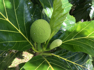ハワイの植物- `Ulu のお話。