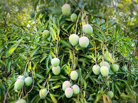 マンゴー収穫