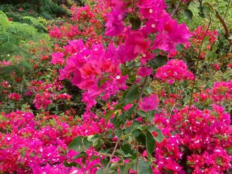 思い出の花 Pua Kepalo