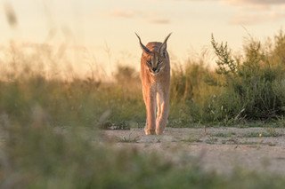 Caracal on the walk