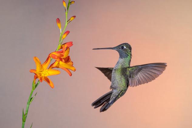 Costa Rica, Hummingbird