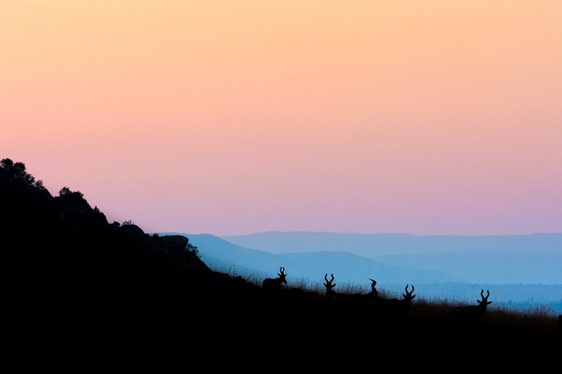 South Africa, Hartebeest