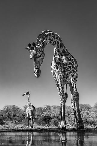 Giraffe on a String