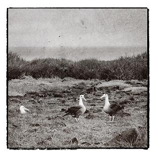 los Albatros