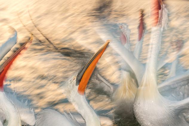 Dalmatian Pelicans, Feeding Frenzy