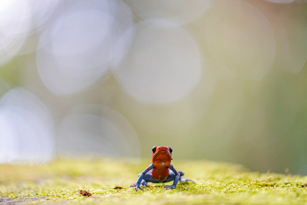 Costa Rica, Blue Jeans Frog