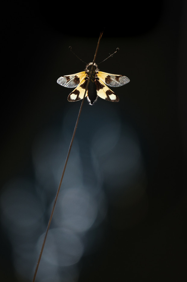 Vlinderhaft. Ook wel bastaardlibel of libelgaasvlieg genoemd