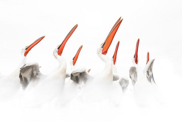 Dalmatian Pelicans, Whiteout