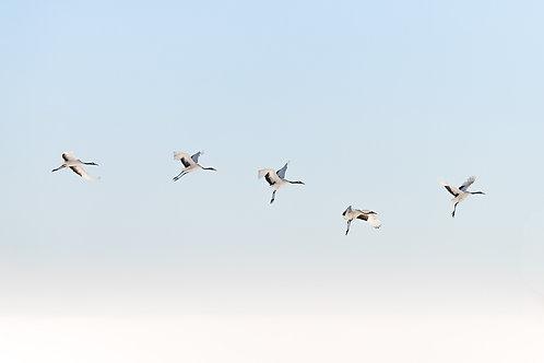 Line of Japanese Cranes in Flight