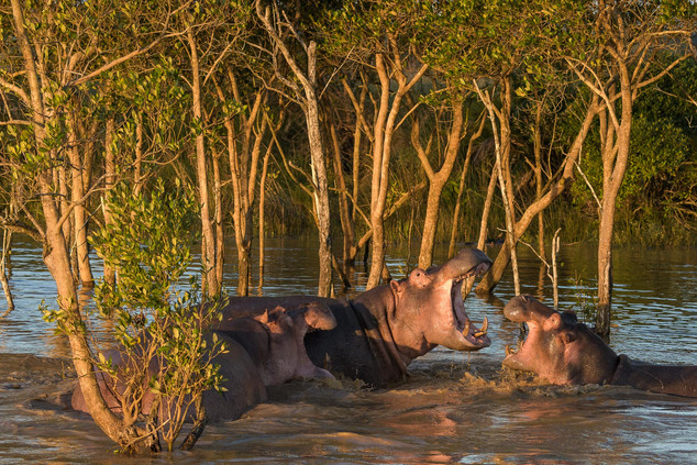 South Africa, Hippo Fight
