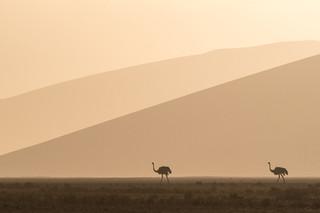 Ostrich Duo