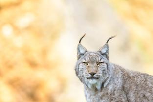 Spain, Lynx