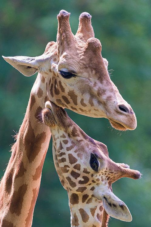 BEDANKINGSKAARTJE | Giraf
