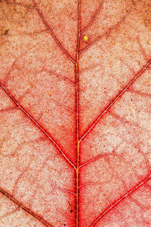 Oak #03
