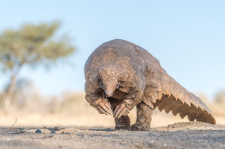 the Pangolin stare