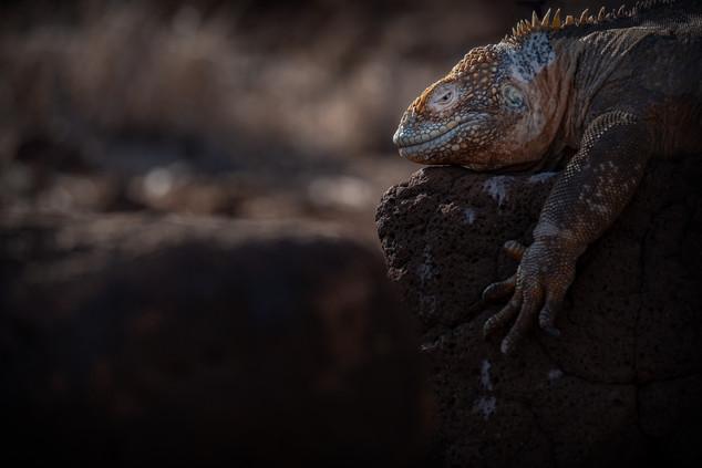 Galápagos, Land Iguana