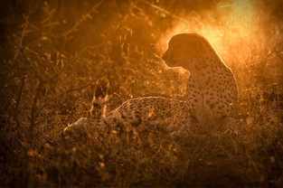 South Africa, Cheetah