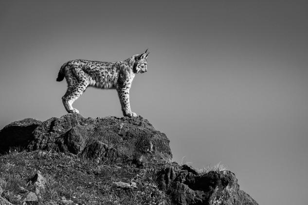 Lynx #3