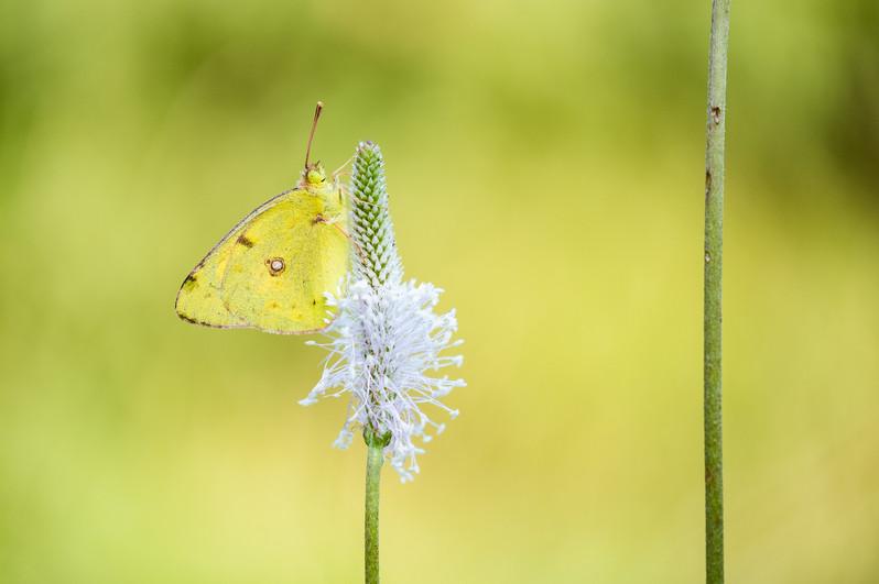Balkanbremvlinder