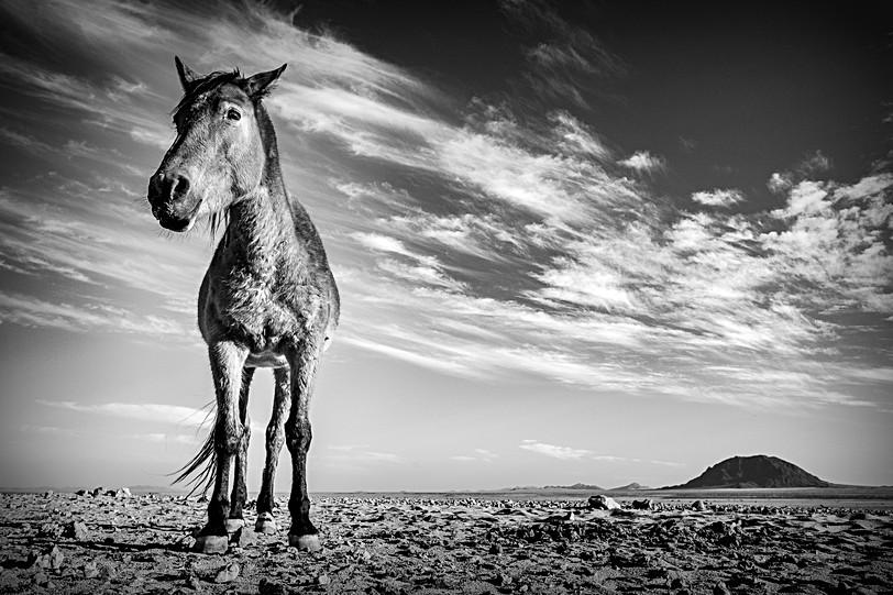 Woestijnpaard