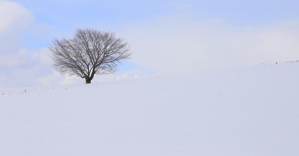 雪の一本桜.jpg