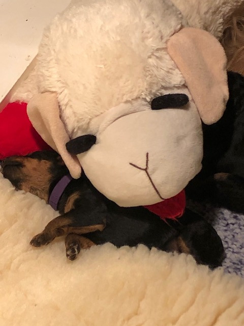 Lampchop taking a turn cleaning a puppy