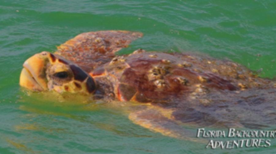 Sea Turtles Florida Saltwater Adventures