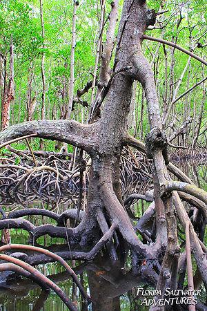 Old Mangrove.jpg