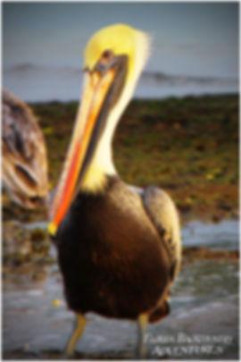 Brown Pelican picture Florida Saltwater Adventures