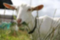 goat-farm-animal-agriculture.jpg
