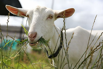 goat-farm-animal-agriculture.jpg