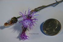 Spotted Knapweed3 - Paul Skawinski-.jpg