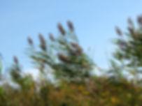 Phragmites australis - Paul Skawinski.JP