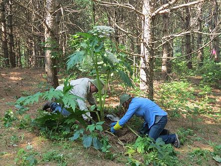 Hogweed removal Ken Madeline.jpg