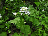 Garlic Mustard1- Paul Skawinski.jpg