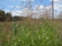 Johnson_Grass_(3236394310).jpg