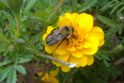 Bombus on Marigold