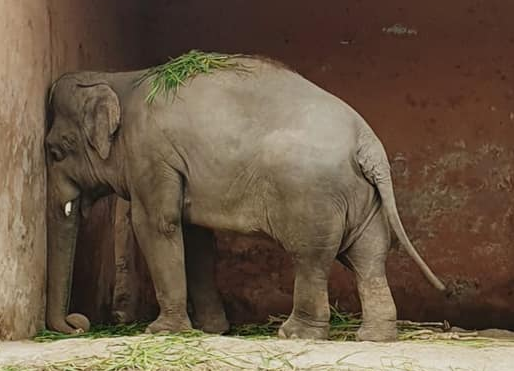 Elephant that has been alone for eight years in a zoo will be released to a sanctuary