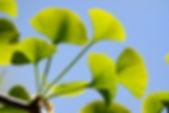 shutterstock_98044826.jpg.ginko leaf.jpg
