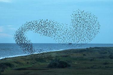 starling murmeration flikr free.jpg