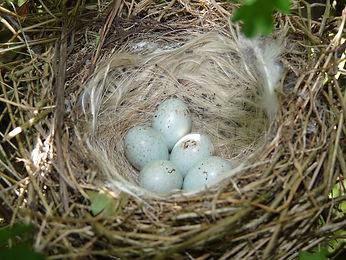 Linnet_Nest_11-06-11_(5822662884).jpg
