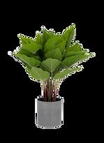 Plante anthurium.png
