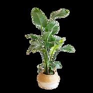 Plante bananier _.png