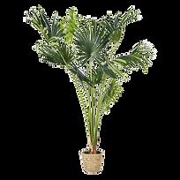 Plante Kentia.png
