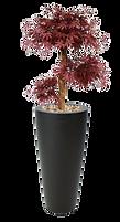 Acer bonsai 95 cm.png