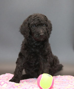 IMG_7346.jpgstandard poodle puppies for sale